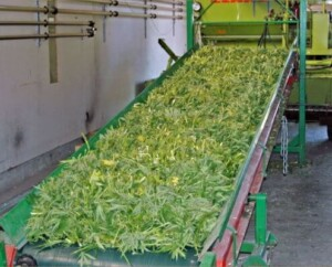Hemp CBD Biomass