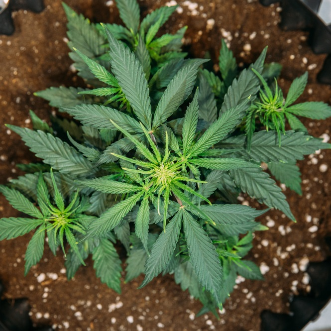 CBD Hemp Clones for Sale - Multiple Strains & Mothers - IHF LLC