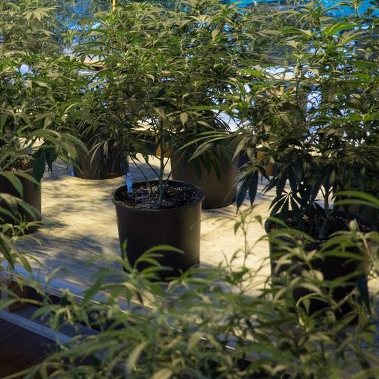CBD hemp mother clones plants for sale
