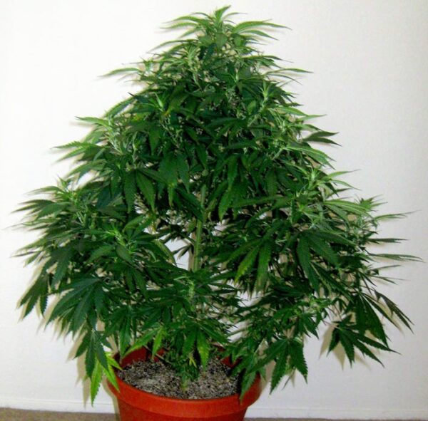 mother high cbd hemp clones for sale