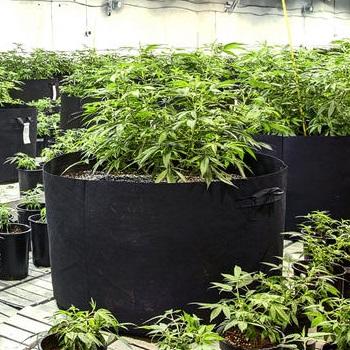 high cbd hemp mothers for sale colorado: lifter, t1, super lemon haze, electra, spectrum, cherry wine, wife, sweet