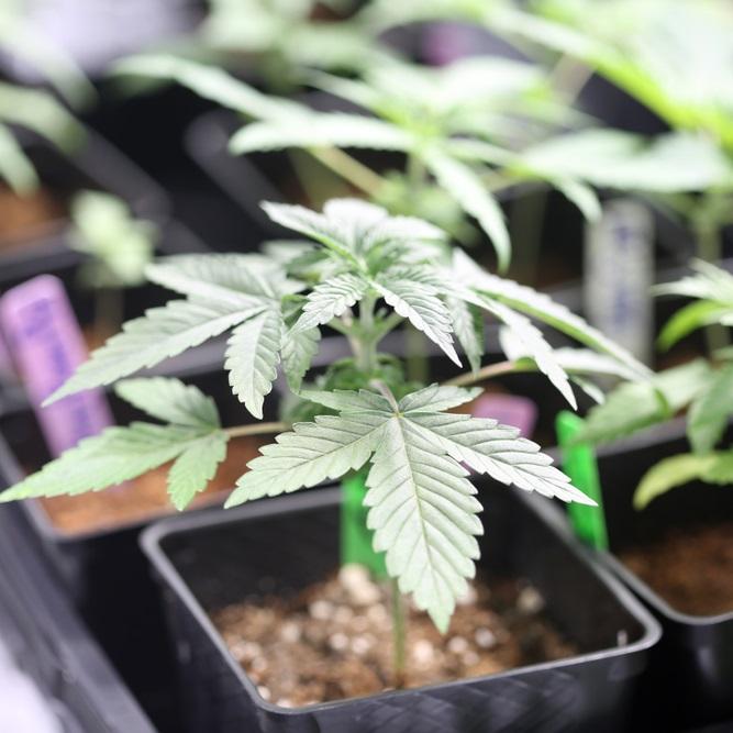 spectrum cbd hemp clones