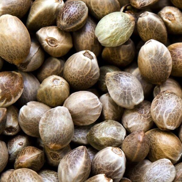 buy T1 high cbd hemp seeds feminized denver colorado