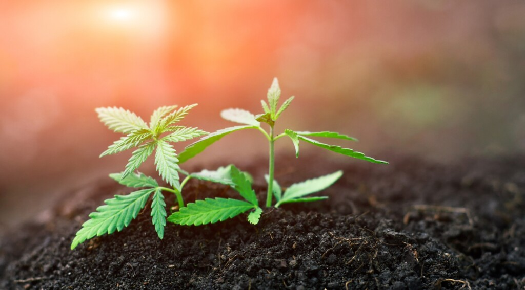 growing hemp from high cbd hemp seed investment