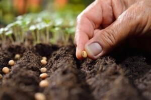 CBD hemp seed planting