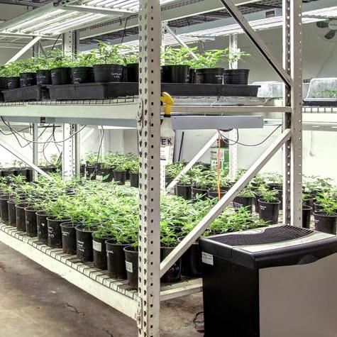 spectrum hemp clones