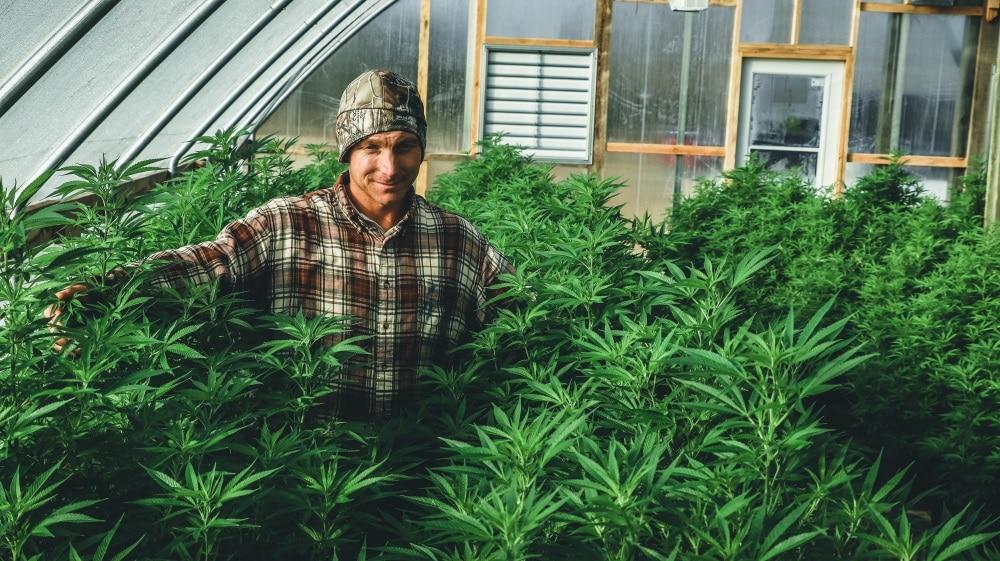lifter strain hemp plants in greenhouse