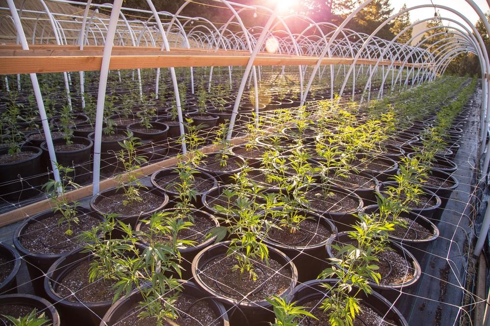 acid rock hemp flower plants