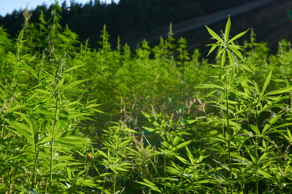 field in colorado with special sauce hemp plants