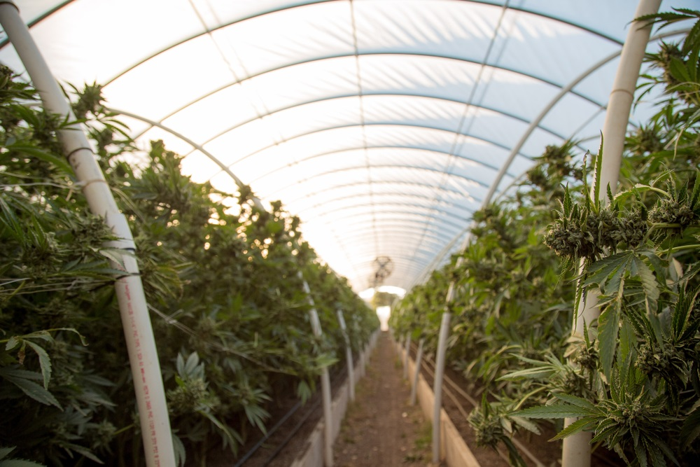 indoor greenhouse with abacus hemp plants