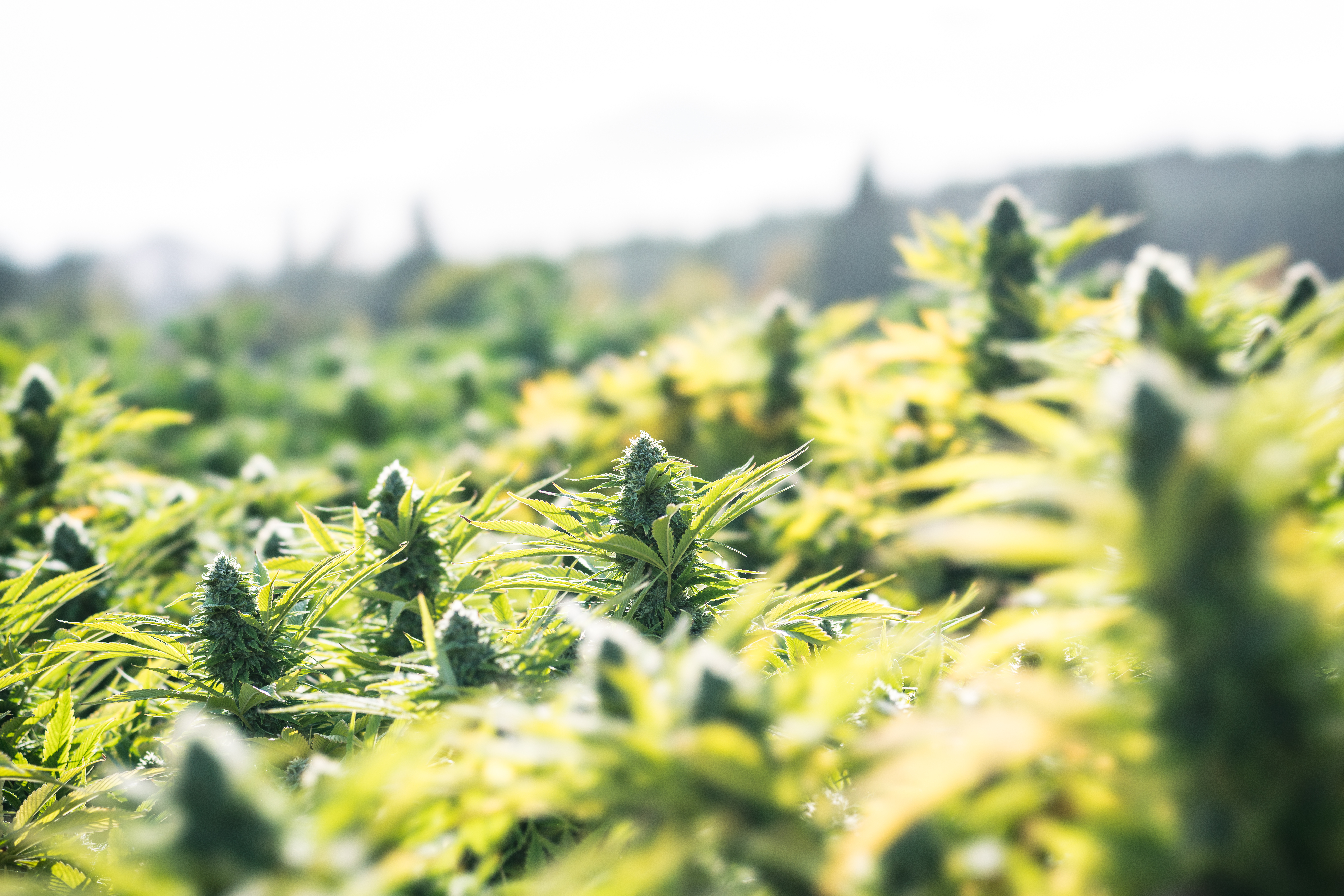 Cascade CBD hemp plants growing in field