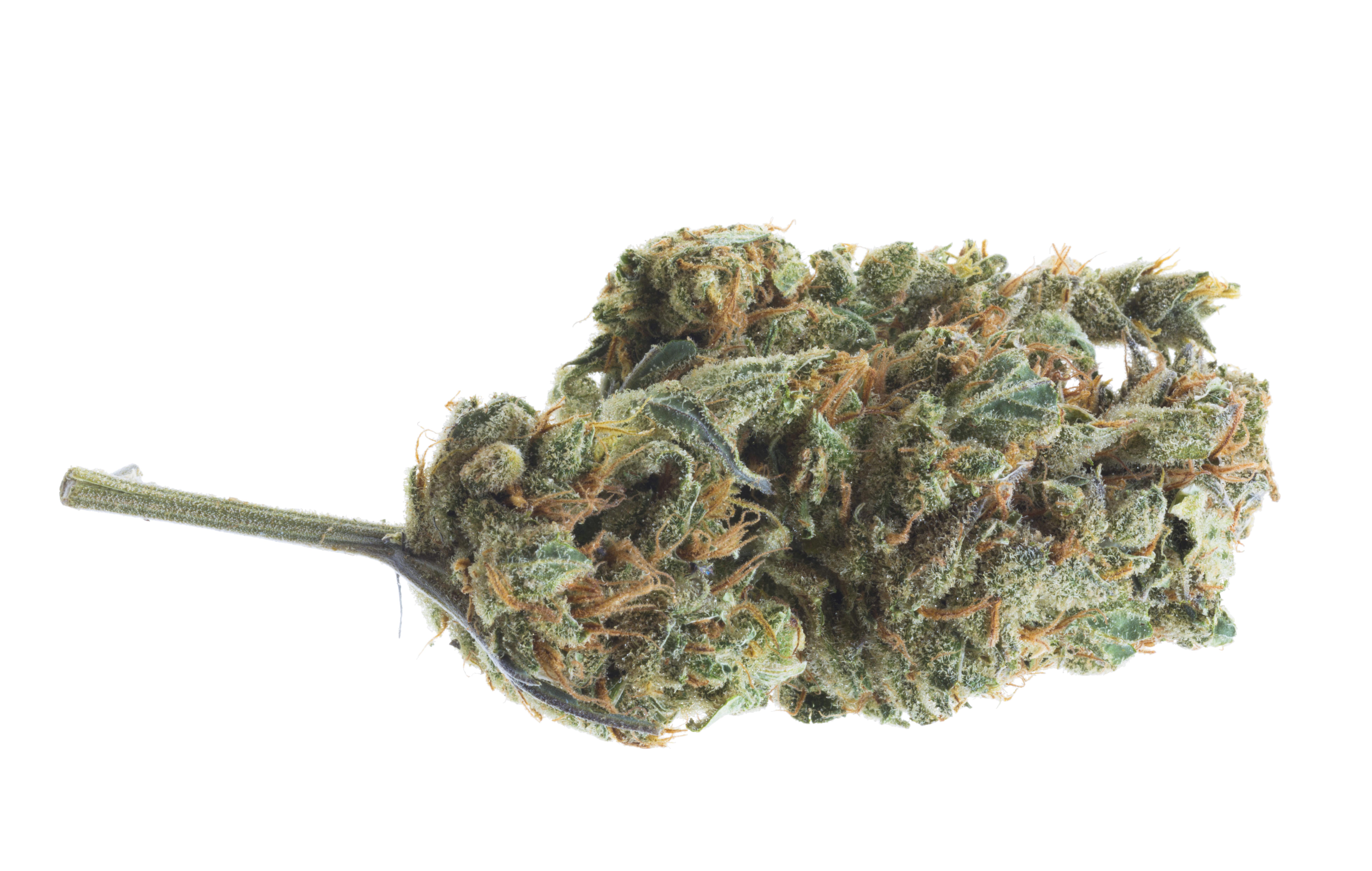 closeup of Lemon Drop CBD hemp bud