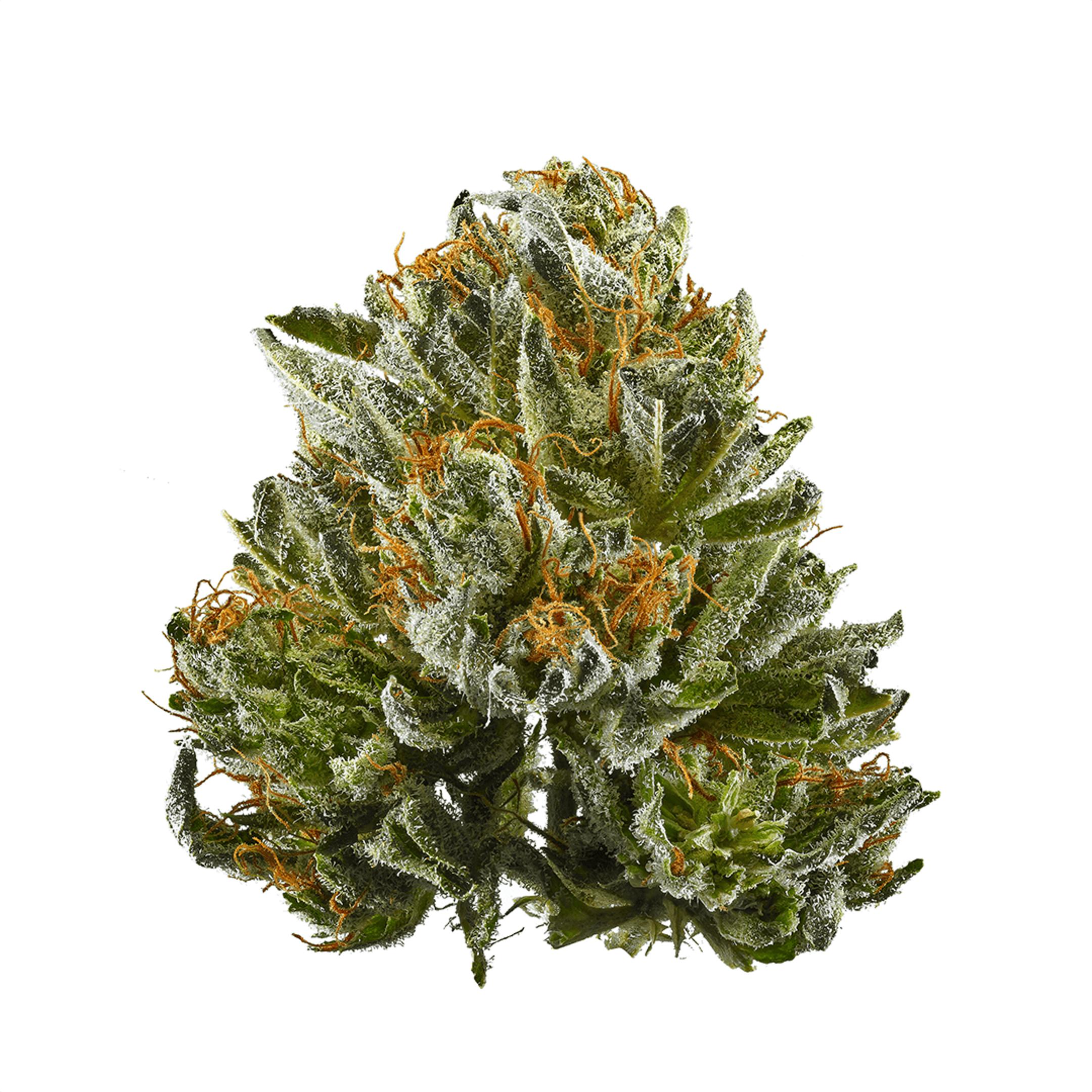 closeup of Bubba Kush hemp bud