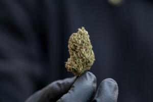 Blue Cheese Cannabis Bud