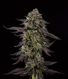 Blue Sherbet Cannabis Strain