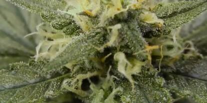Easy Ryder Cannabis Strain