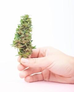 Easy Ryder cannabis bud