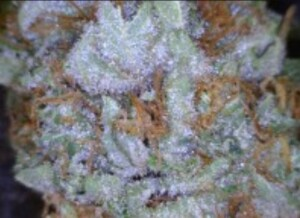 Fire OG cannbis flower close up