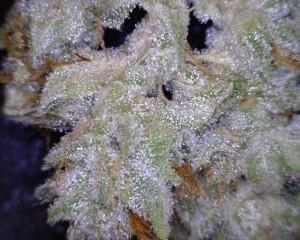 GG4 Strain cannabis flower close up