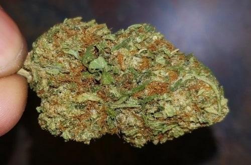 Bubble Gum Cannabis bud