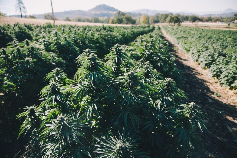 Suver Haze Cannabis strain