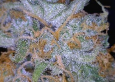 Trainwreck cannabis flower close up