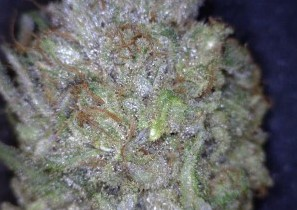 ACDC cannabis flower close up