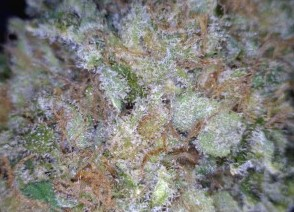 Berry White Cannabis flower close up