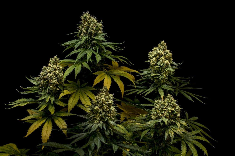Big Smooth Cannabis Strain