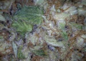 Critical Mass Cannabis flower close up
