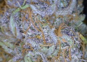 Fruit Punch Cannabis flower close up