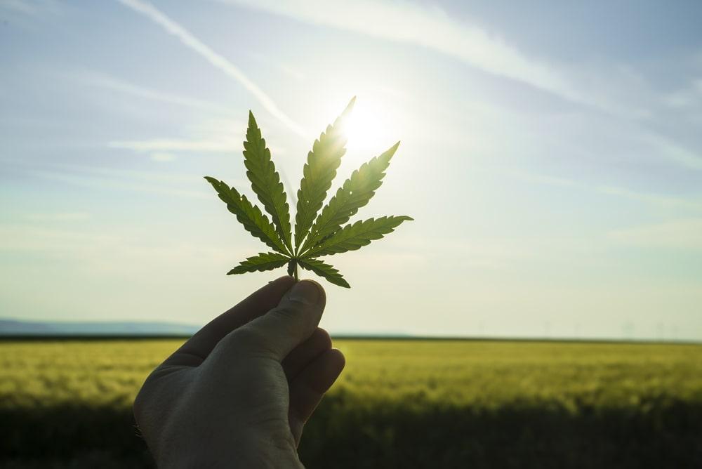 Game Changer Cannabis Strain
