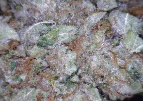 Sweet Tooth Cannabis flower close up