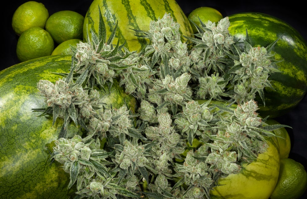 Watermelon Cannabis Strain