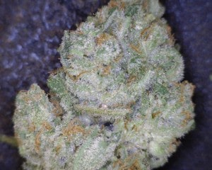 Cinex Cannabis flower close up