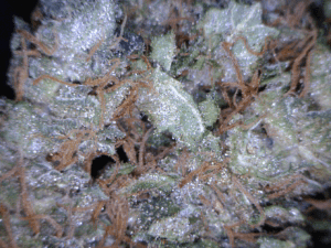 Ghost OG Cannabis flower close up
