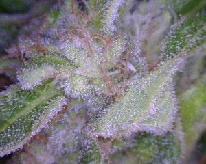Ghost Train Haze Cannabis flower close up
