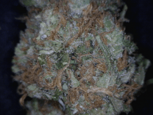 Grape Stomper Cannabis flower close up