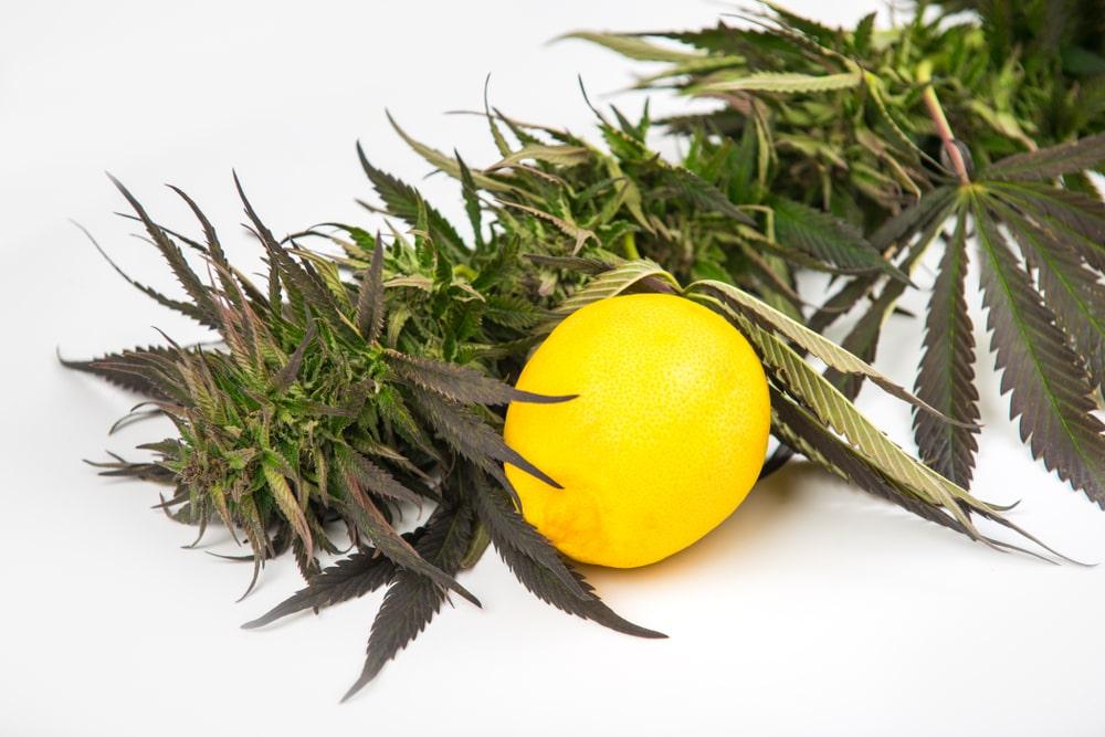Lemon Skunk Cannabis Strain