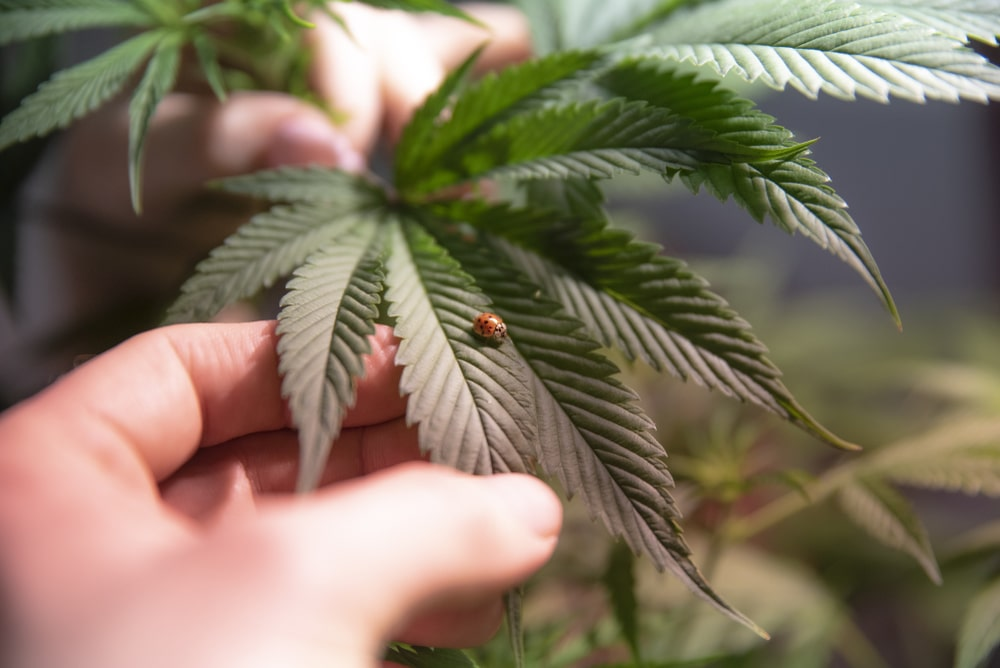 Lucky Charms Cannabis Strain