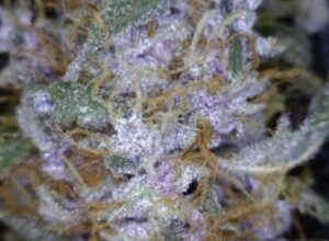 Lucky Charms Cannabis flower close up