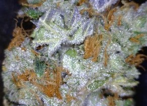 Mob Boss Cannabis flower close up