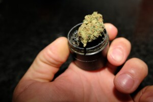 Mr. Nice Guy Cannabis bud