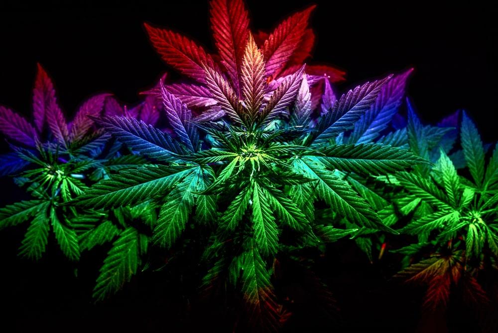 Rainbow Cannabis Strain