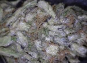 Snow cap Cannabis flower close up