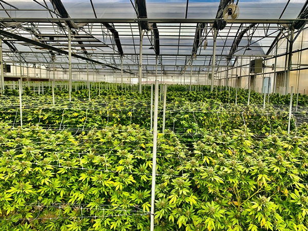 industrial hemp farms