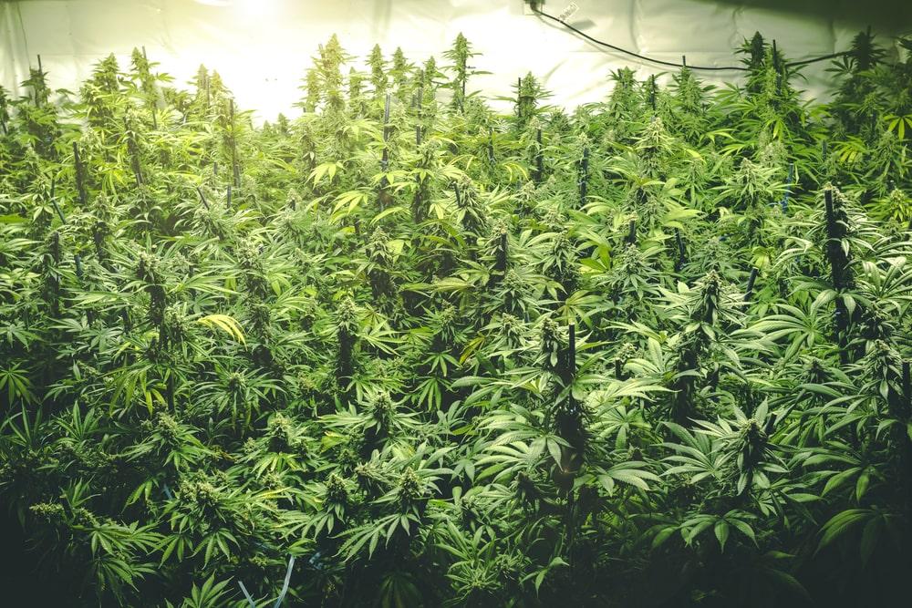 White Buffalo Cannabis Strain