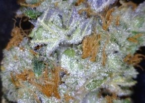 Dark Star Cannabis flower close up