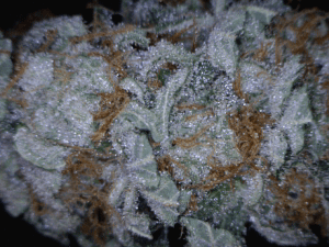 Orange Crush Cannabis flower close up