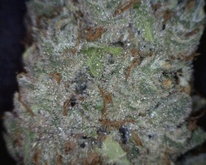 Red Headed Stranger Cannabis flower close up